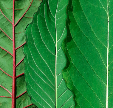 Green Malay Kratom: Benefits, Risks, and Other Significant Details