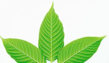 The Classification of White Vein Kratom and Their Effects