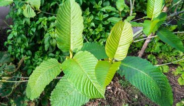 What Are the Effects and Dosage of Green Vietnam Kratom?