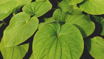 Will Kava Urinalysis Make You Fail the Drug Test?