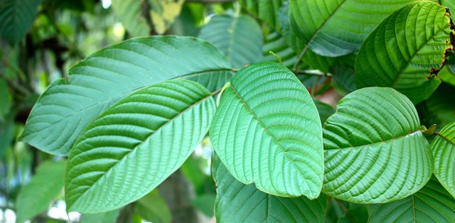 How to Tell the Best Kratom Strain on the Market