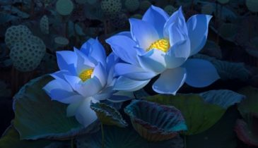 Best Blue Lotus Dosage for Beginners: Key to Opening Your Mind