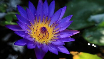 Maeng Da Blue Lotus: The Components and Benefits to the Users