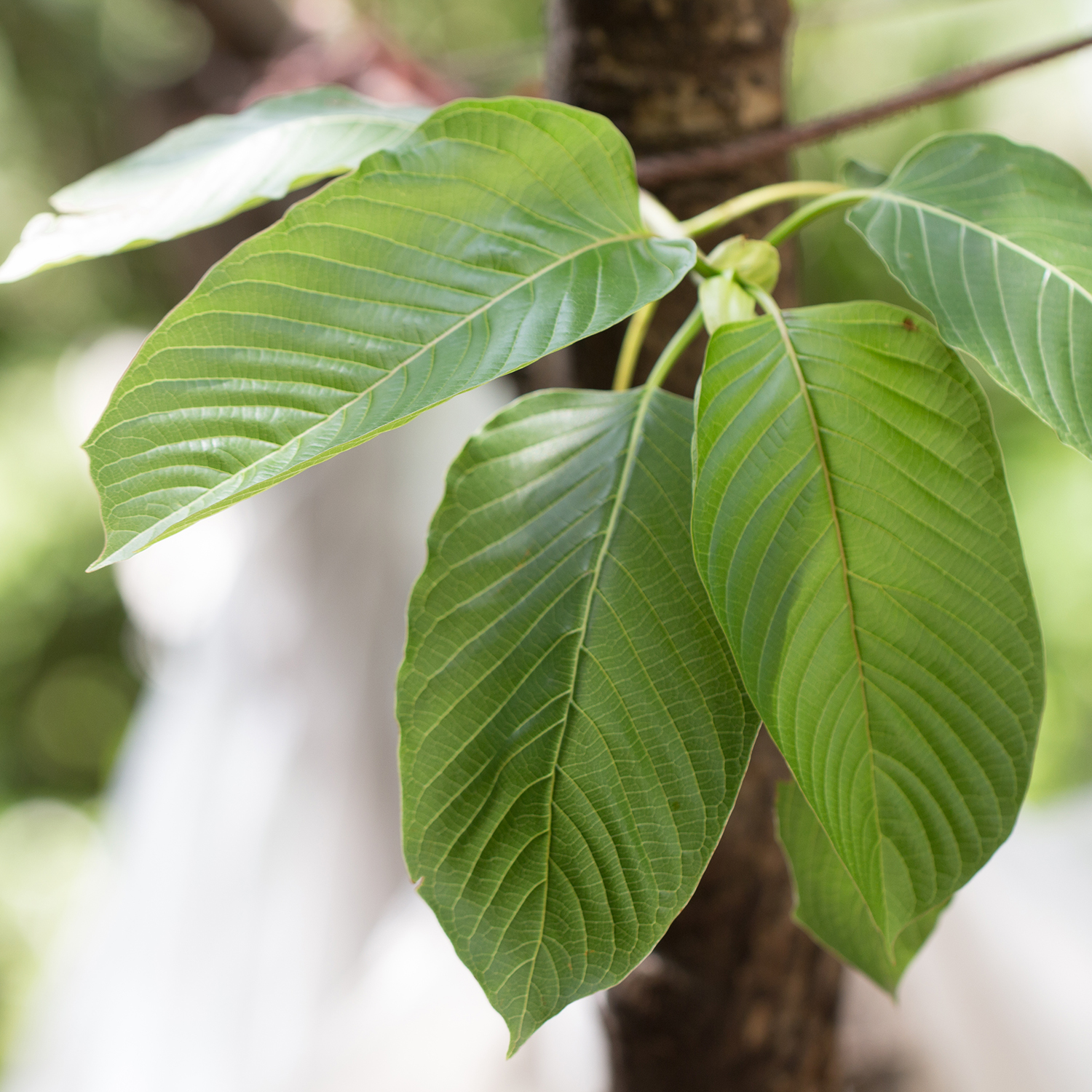 Kratom Alkaloid Content: What Are the Strongest Alkaloids?