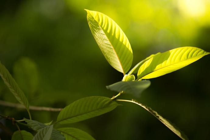 Kratom Ingredients: Is it Safe to Use Kratom as a Natural Remedy?