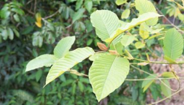 The Game Is On: Kratom Leaf vs. Extract