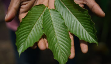 Does Drug Court Test for Kratom: Know the Truth Behind the Law